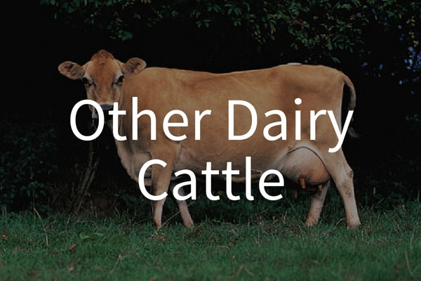 dairy-cattle