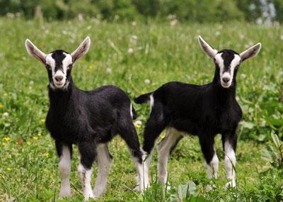 ALE   Goats: Boer, British Alpine and Saanen Dairy Goat